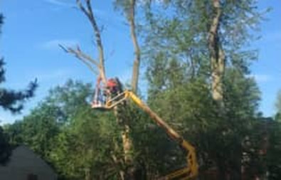 A boom truck is used to trim down a large tree.