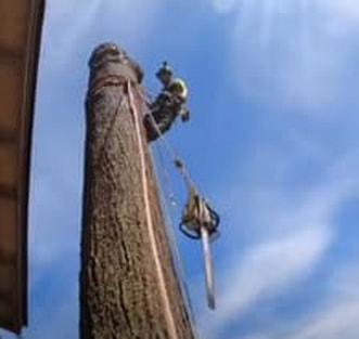 A chainsaw dangles while an arborist removes a large oak tree.