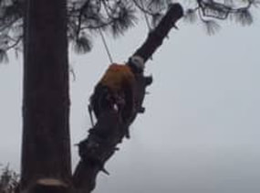 A licensed prescott tree service removes a large tree.