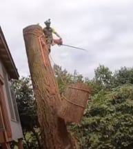 Our certified tree service removes a large oak tree.